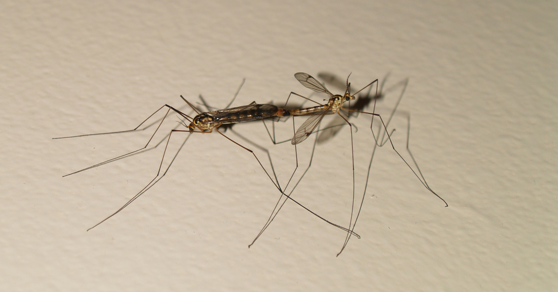 craneflies_mating3