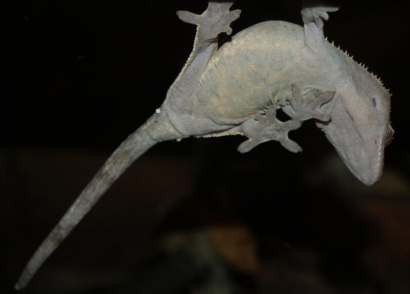 Crested gecko anatomy