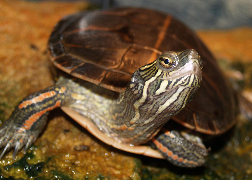 paintedturtlesouthern