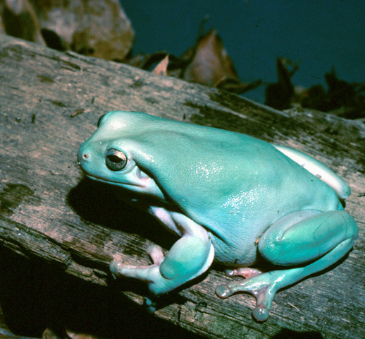 A teal frog