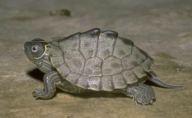 Mississippi Map Turtle Hatchling ADW: Graptemys pseudogeographica: INFORMATION
