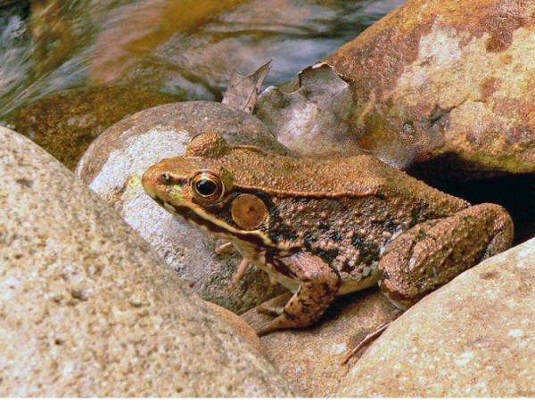 Photo of Lithobates clamitans clamitans