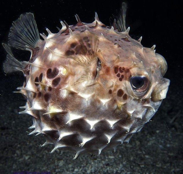 porcupinefish_profile_view