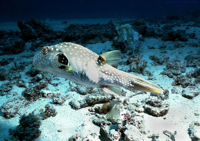 puffer_w_spotted_openwater