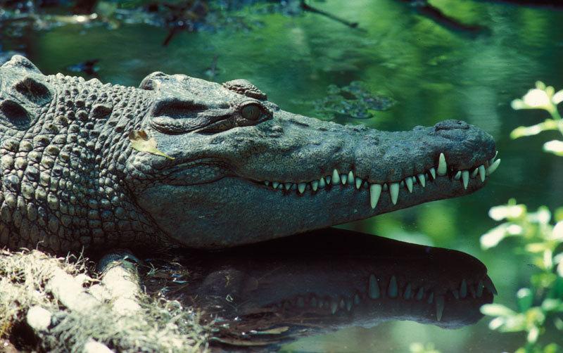 http://animaldiversity.ummz.umich.edu/collections/contributors/jerry_gingerich/75saltwatercroc-3alt/large.jpg