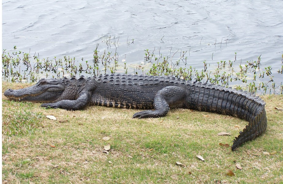 Am_alligator_100_7174