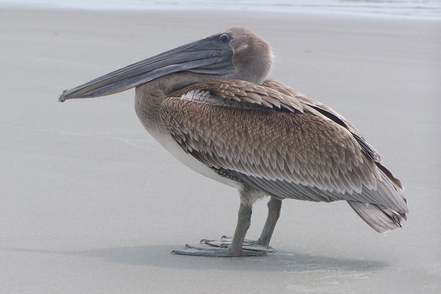 Brown_Pelican_102b9000