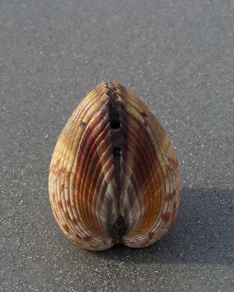 giant_atlantic_cockle_2_100_9802