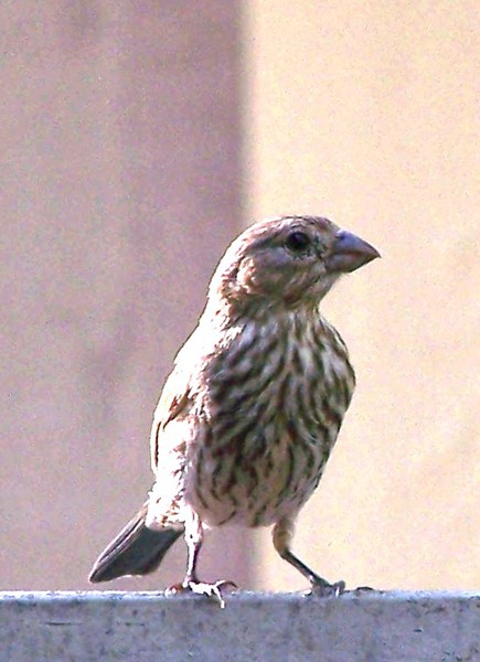 house_finch_100_1828
