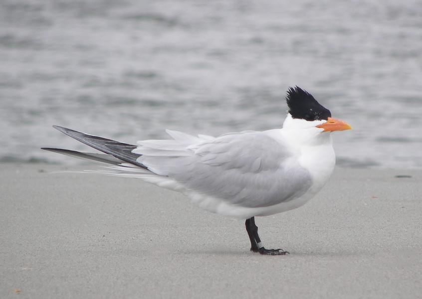 royal_tern_100_6370