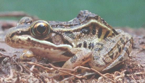 Lithobates sphenocephalus sphenocephalus