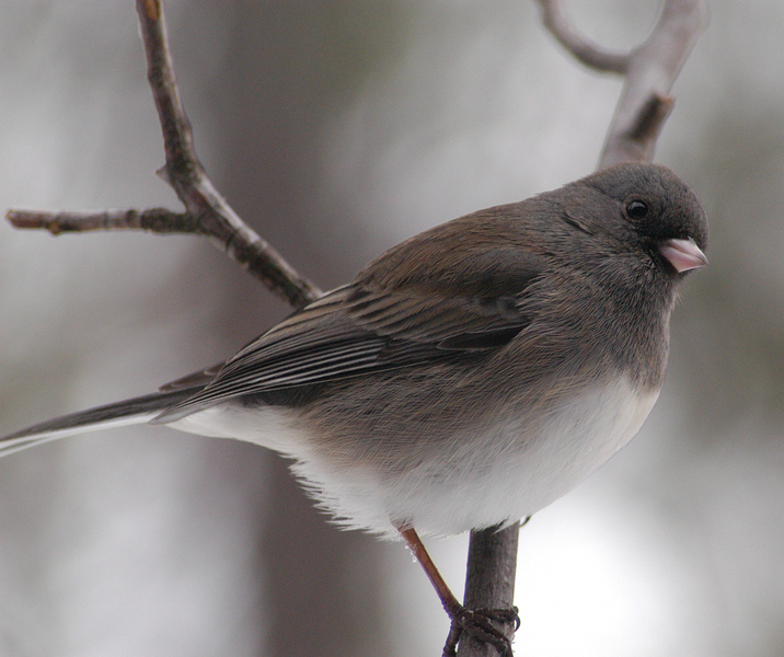 2003-0217_young_junco_11