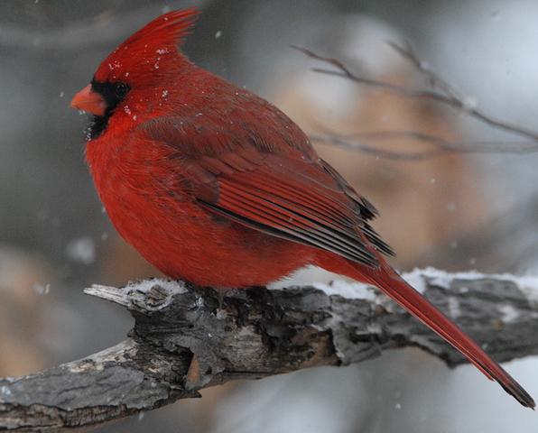 adw  cardinalis cardinalis  information