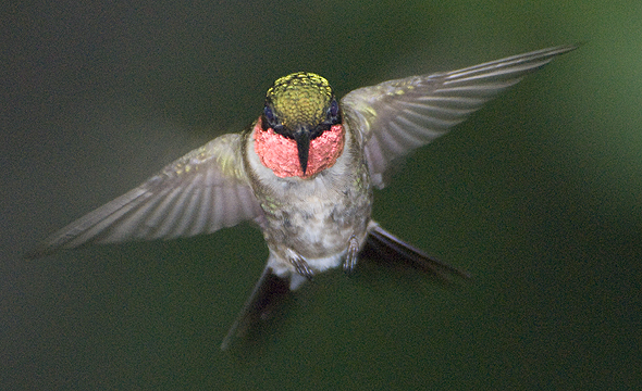 hummingbird_male_10