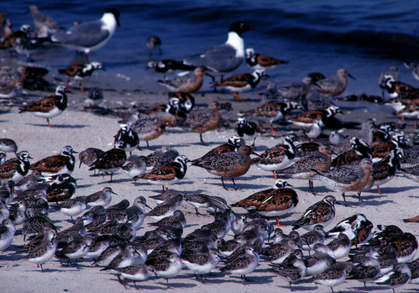 sandpipers_on_beach