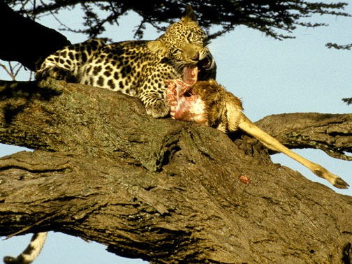 LeopardinTree11_4_98
