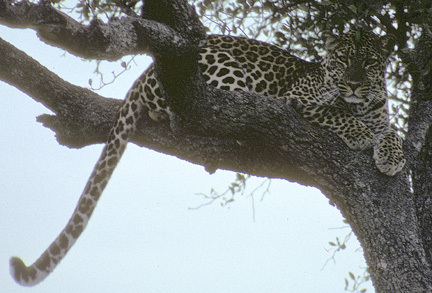 LeopardinTree4_89