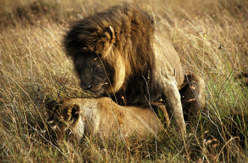 Lions1mating9_91