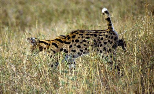 ADW: Leptailurus serval: INFORMATION