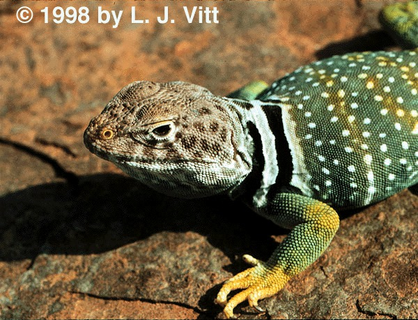 Crotaphytus collaris