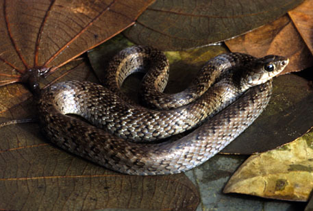 Liophis_almadensis