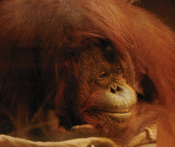046sumatranorangutan
