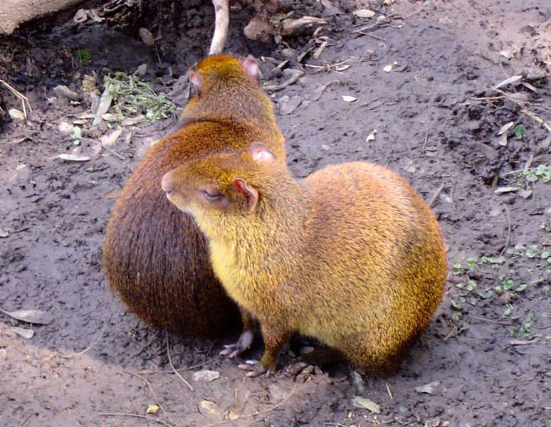 agouti_maybe