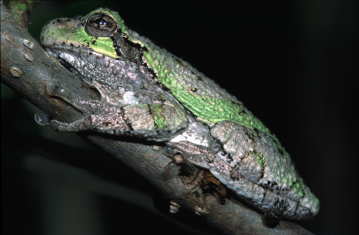 Photo of Hyla versicolor