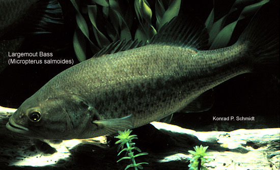 Micropterus