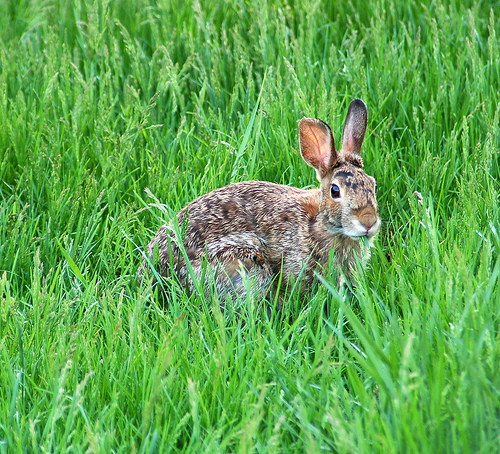 easterncottontail