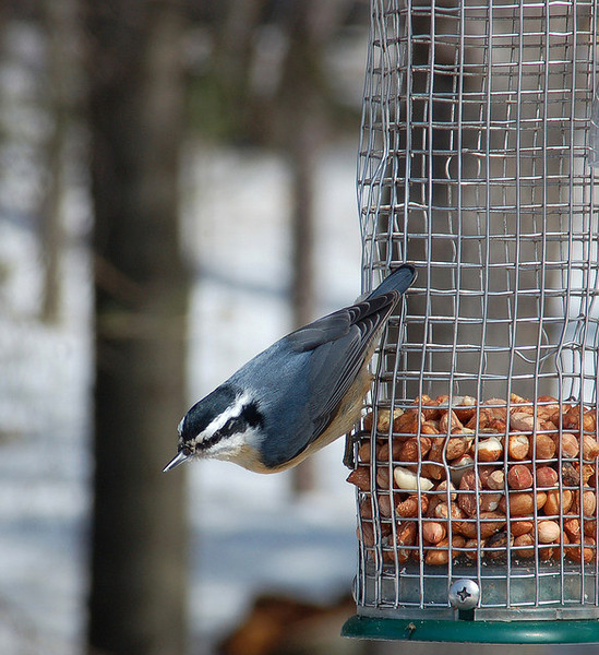 redbreastednuthatch