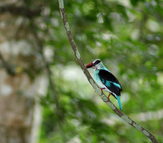 bluebreastedkingfisher2732