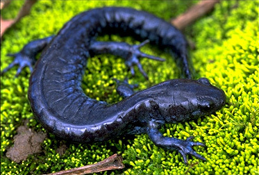 Ambystoma laterale