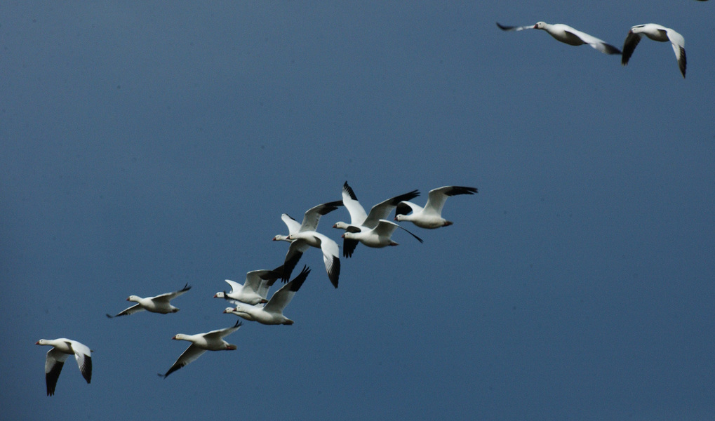 snowgeese7217
