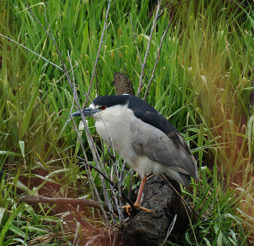 Photo of Nycticorax nycticorax