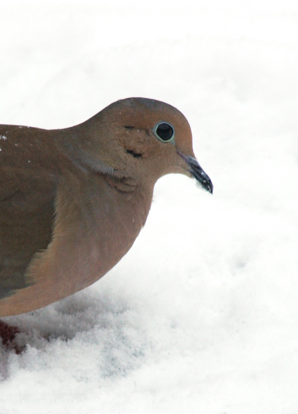 mourning_dove3547
