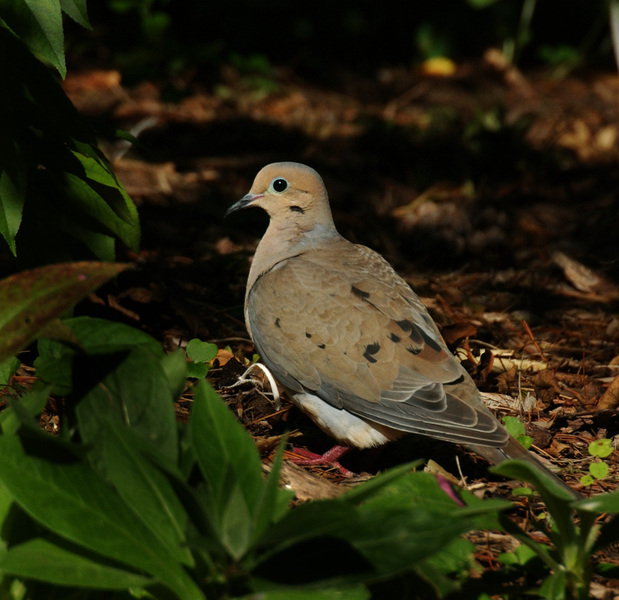 mourning_dove8326