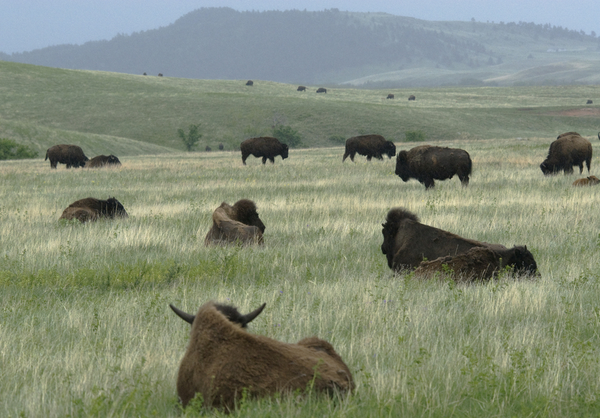 bison_group7969
