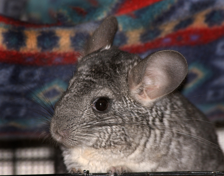 chinchilla9555