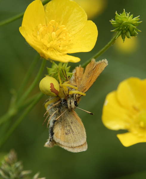 Misumena_skipper0029