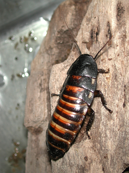 hissing_cockroach1