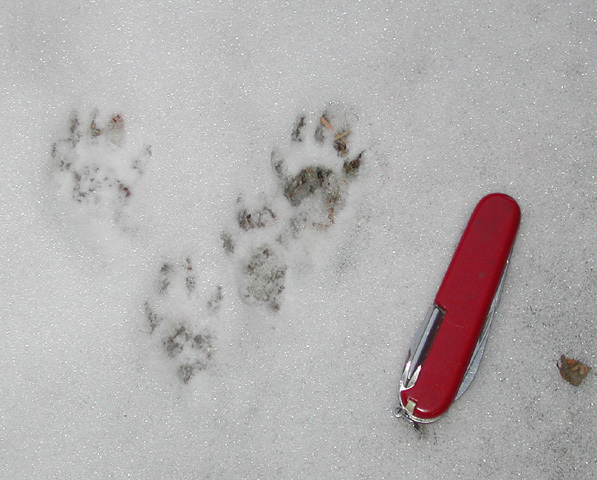 fox_squirrel_tracks