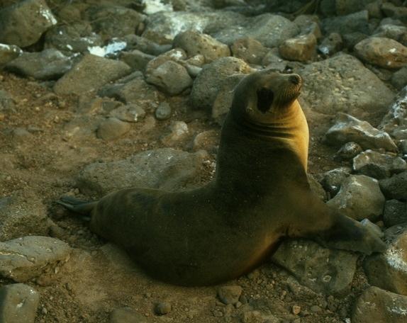 http://animaldiversity.ummz.umich.edu/collections/contributors/phil_myers/classic/zalophus_californicus/medium.jpg