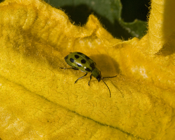 Photo of Diabrotica undecimpunctata