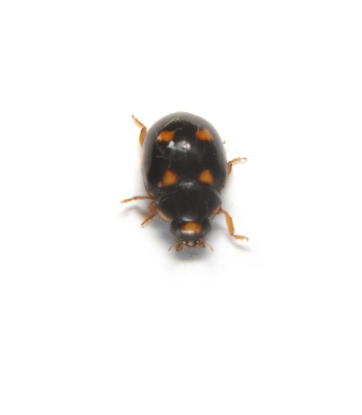 Coccinellidae1108