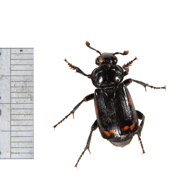 Adw Silphidae Pictures