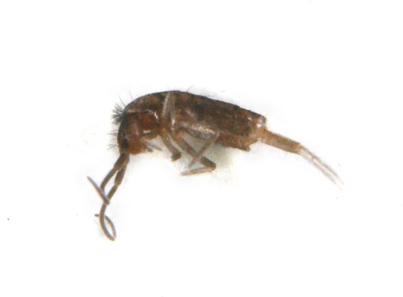 collembola2920