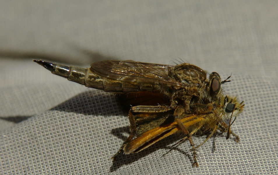 robberfly1666