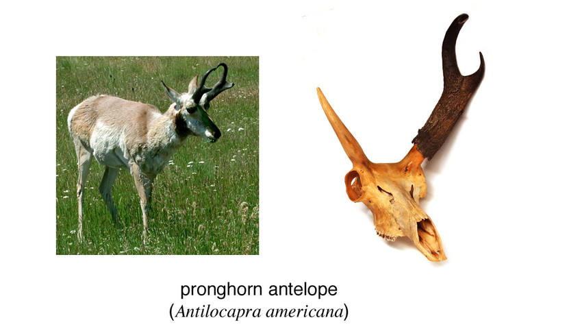 adw  horns and antlers