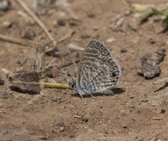 Leptotes